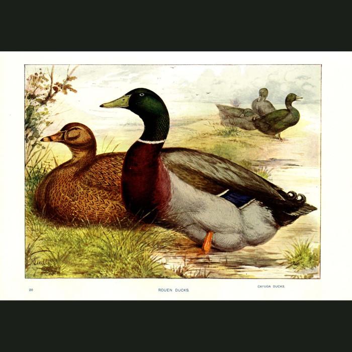 Fine art print for sale. Rouen Duck and Cayuga Duck