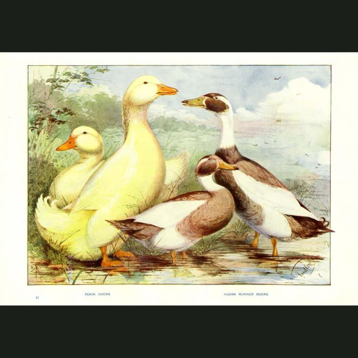 Fine art print for sale. Pekin and Indian Runner Ducks