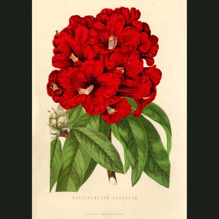 Fine art print for sale. Rhododendron Arboreum