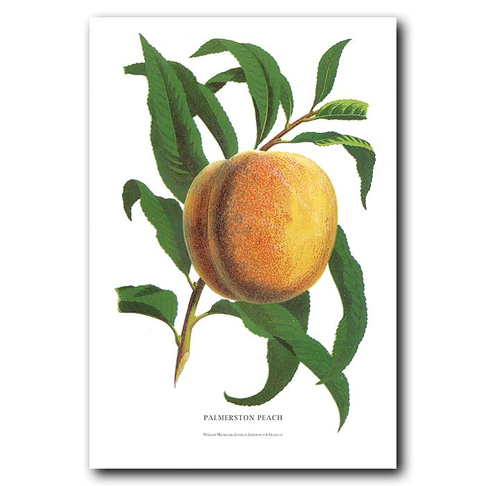 Fine art print for sale. Palmerston Peach