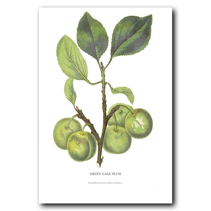 Fine art print for sale. Greengage Plums