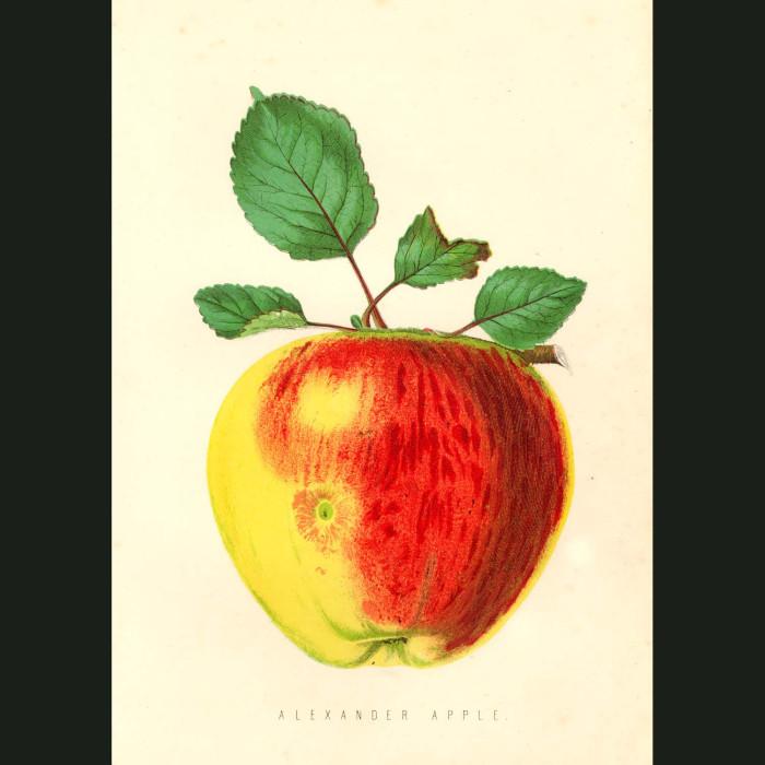 Fine art print for sale. Alexander Apple