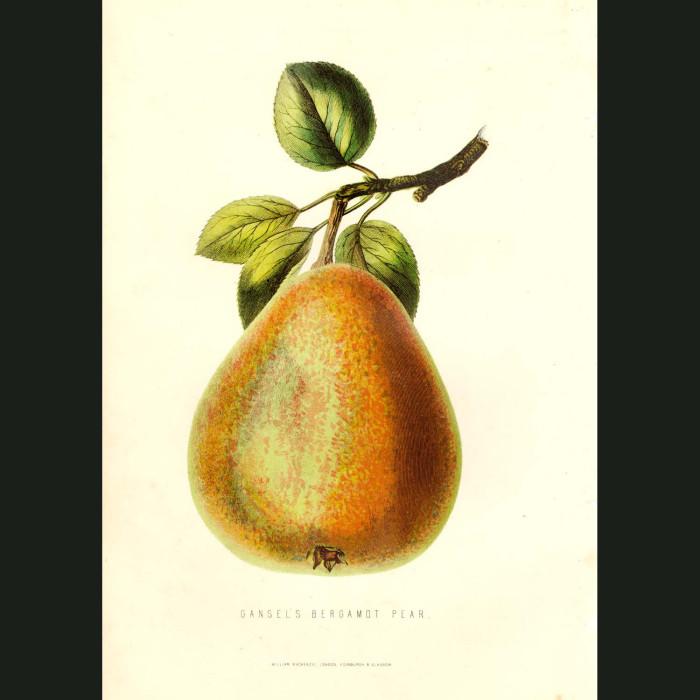Fine art print for sale. Bergamot Pear
