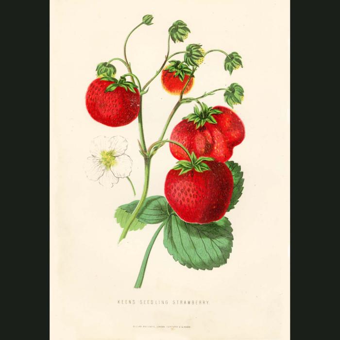 Fine art print for sale. Seedling Strawberries