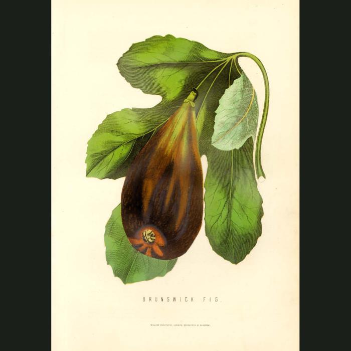 Fine art print for sale. Brunswick Fig