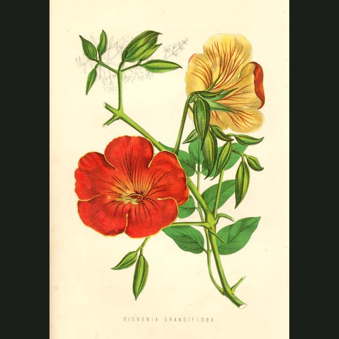 Fine art print for sale. Bignonia Grandiflora