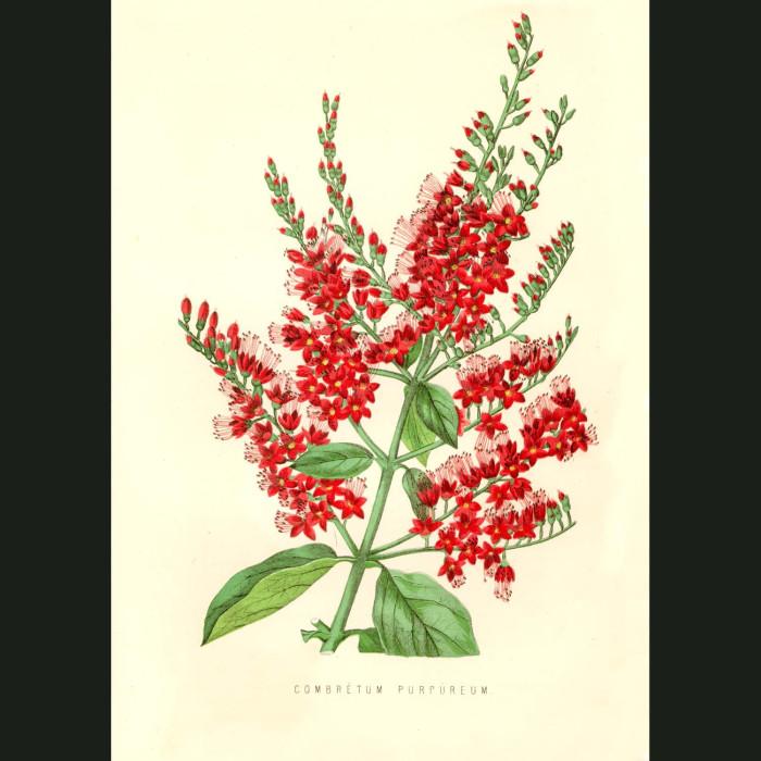 Fine art print for sale. Combretum Flowers