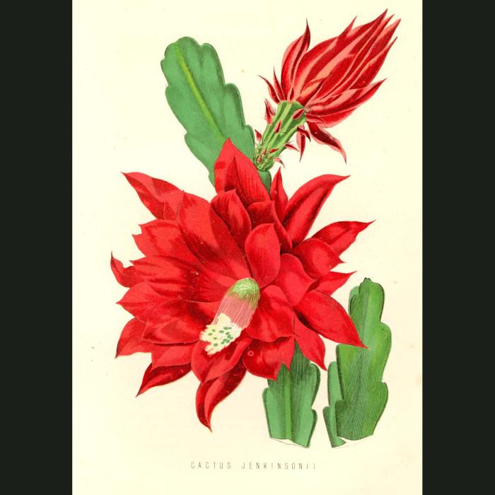 Fine art print for sale. Orchid Cactus