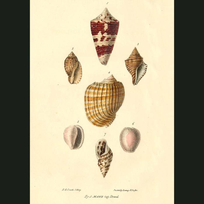 Fine art print for sale. Cone, Volute & Helix Shells