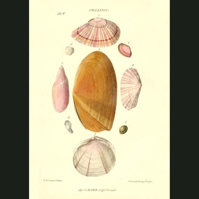Fine art print for sale. Tellina Or Angled Wedge Shells