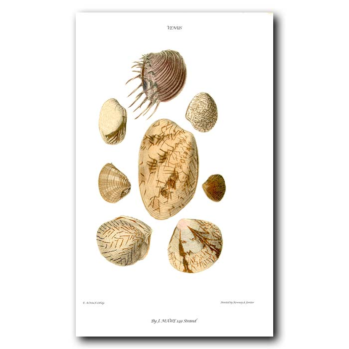 Fine art print for sale. Venus Shells