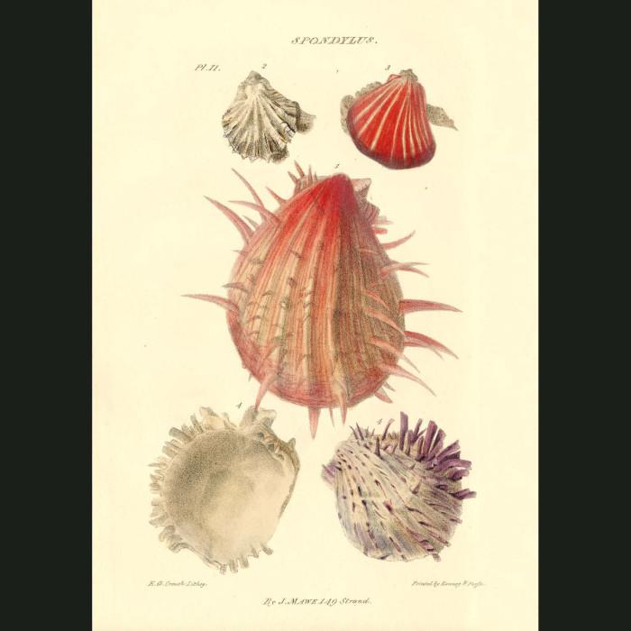 Fine art print for sale. Thorny Oyster Or Artichoke Shells