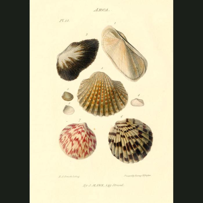 Fine art print for sale. Ark Shells