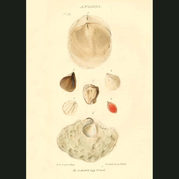 Fine art print for sale. Antique Lamp Shells