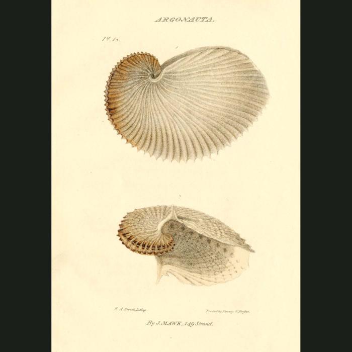 Fine art print for sale. Paper Sailor Nautilus Shell
