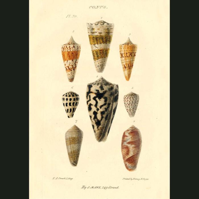 Fine art print for sale. Cone Shells
