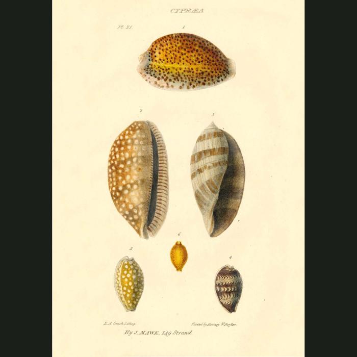 Fine art print for sale. Cowrie Shells