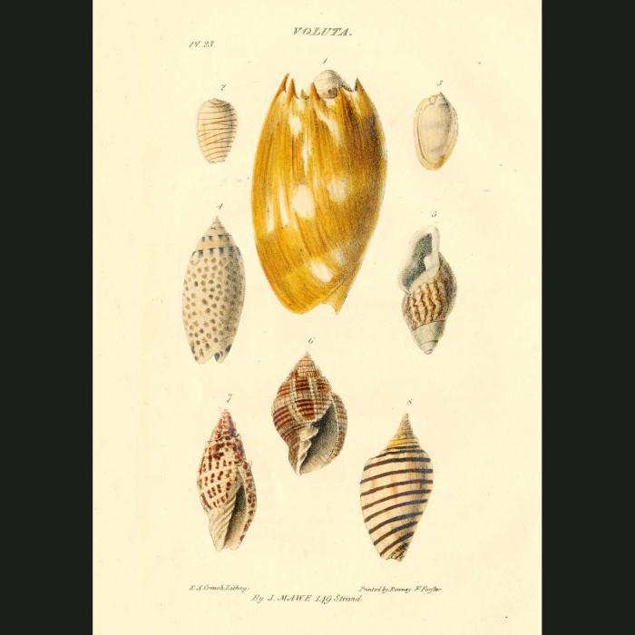 Fine art print for sale. Volute Or Wreath Shells