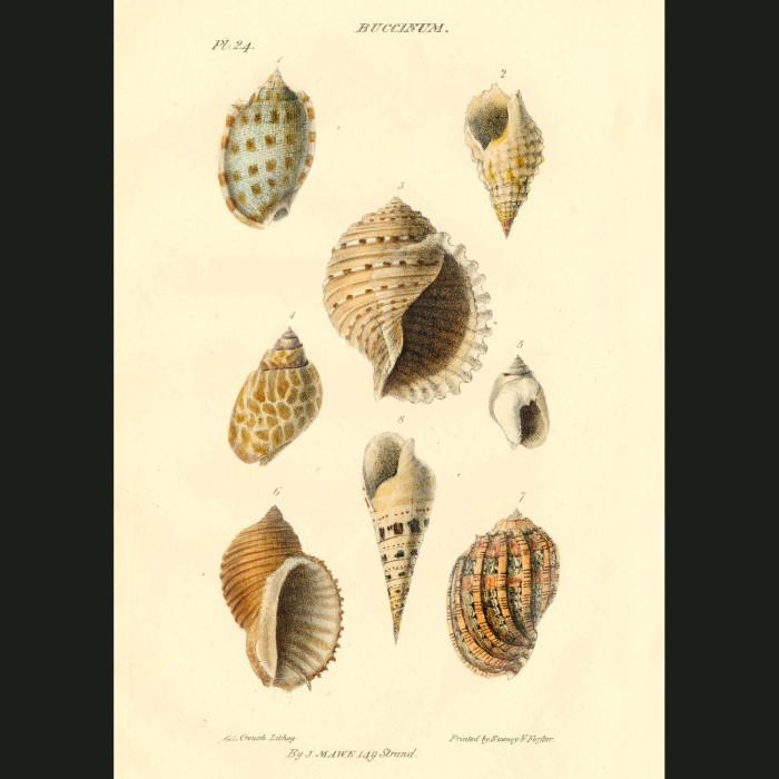 Fine art print for sale. Whelk Shells