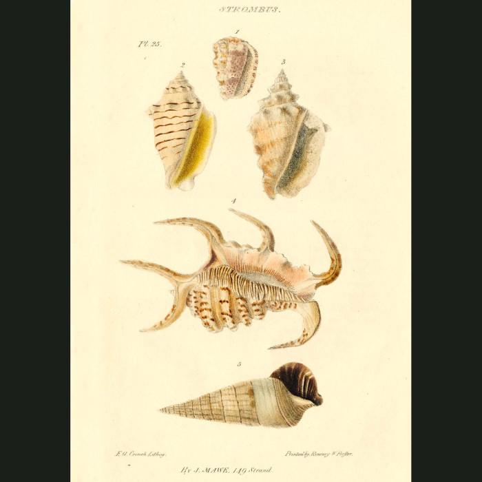 Fine art print for sale. Claw Shells