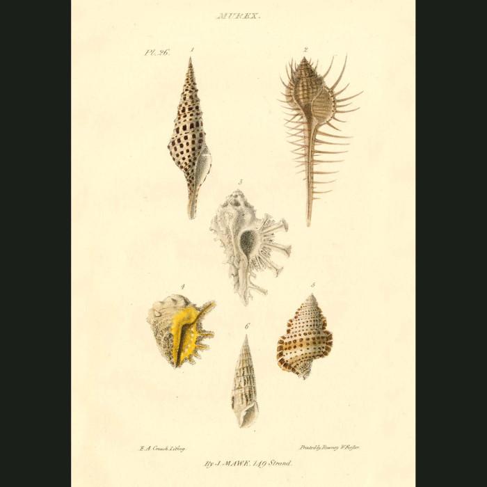 Fine art print for sale. Rock Or Trumpet Shells