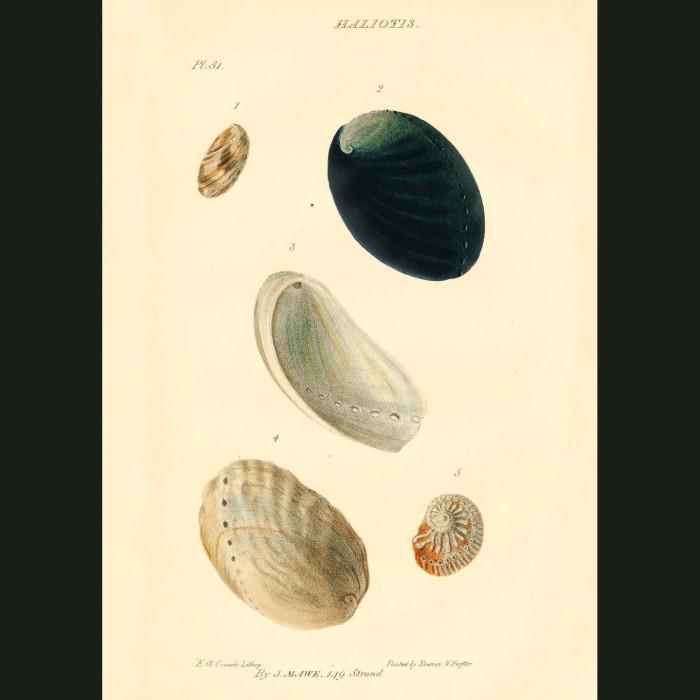 Fine art print for sale. Abalone Or Sea Ear Shells