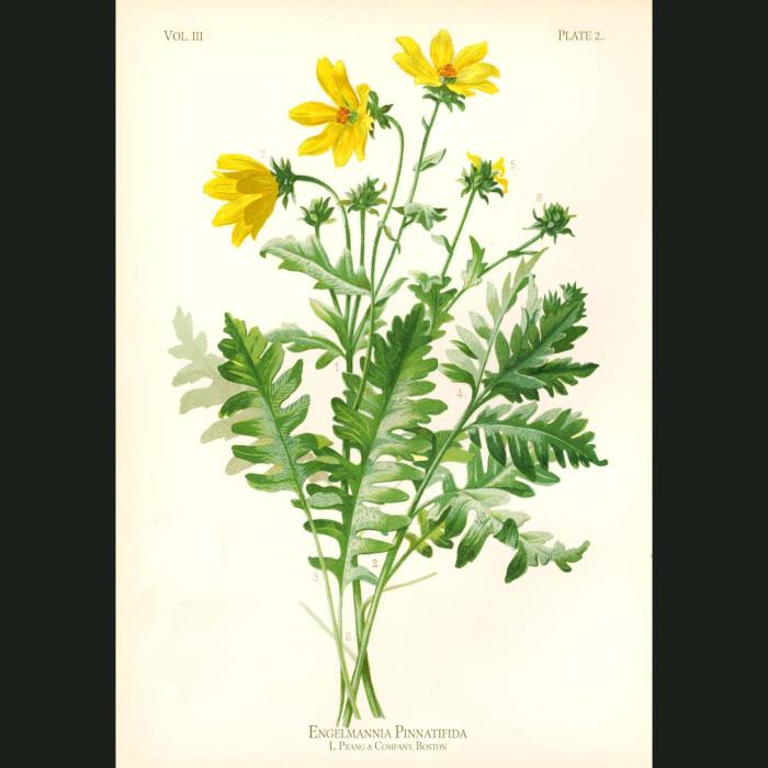 Fine art print for sale. Cut-Leaved Engelmann Flower (Engelmannia Pinnatifida)