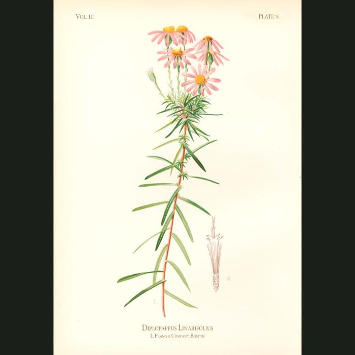 Fine art print for sale. Sand-Paper Star Wort (Diplopappus Linariifolius)