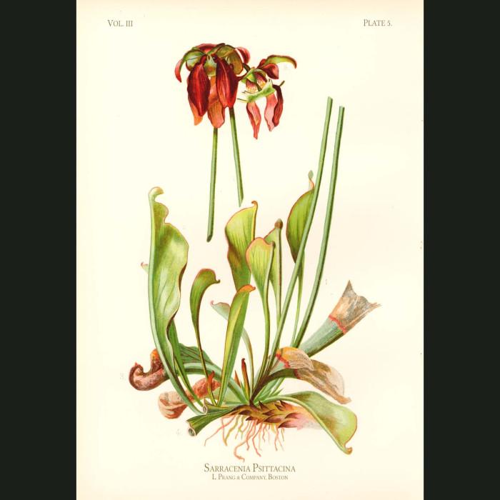 Fine art print for sale. Parrot-Headed Pitcher Plant (Sarracenia Psittacina)