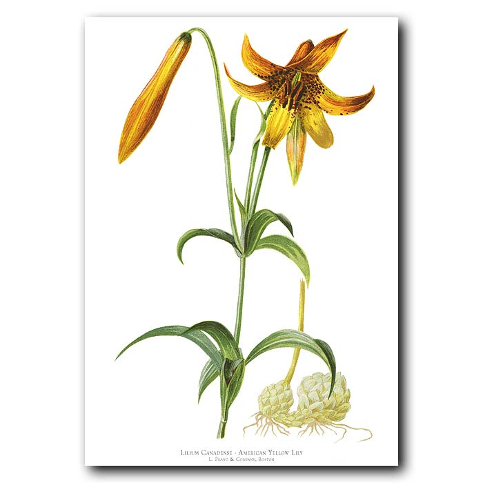 Fine art print for sale. American Yellow Lily (Lilium Canadense)