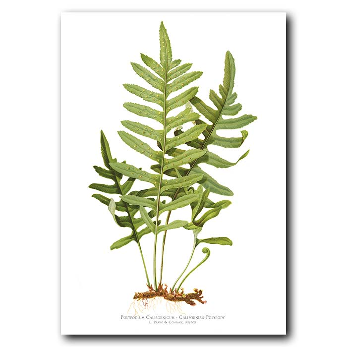 Fine art print for sale. Californian Polypody Fern (Polyposium Californicum)
