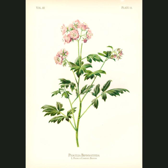 Fine art print for sale. Fernleaf Phacelia (Phacelia Bipinnatifida)