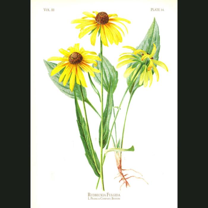 Fine art print for sale. Brilliant Cone Flower (Rudbeckia Fulgida)