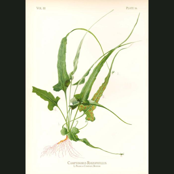 Fine art print for sale. Walking Leaf Fern (Camptosorus Rhizophyllus)