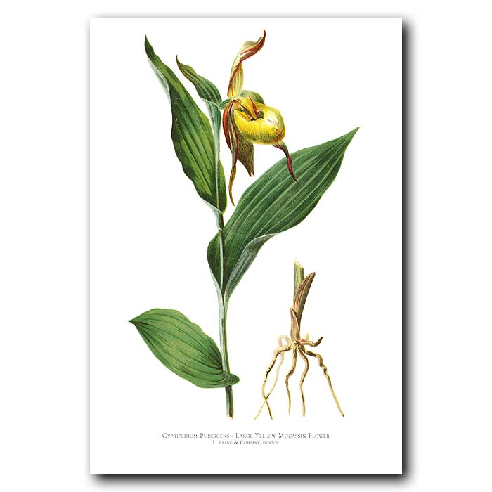 Fine art print for sale. Large Yellow Moccasin Orchid (Cypripedium Pubescens)