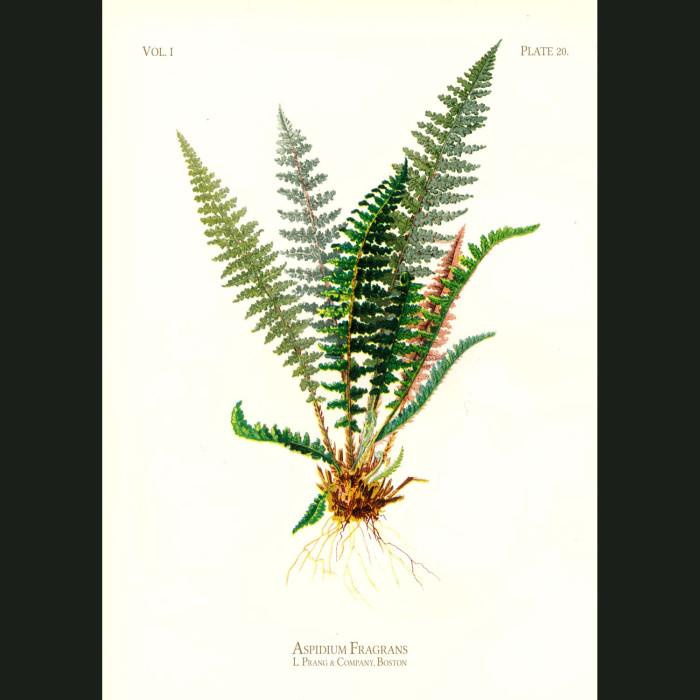 Fine art print for sale. Sweet Shield Fern (Aspidium Fragrans)