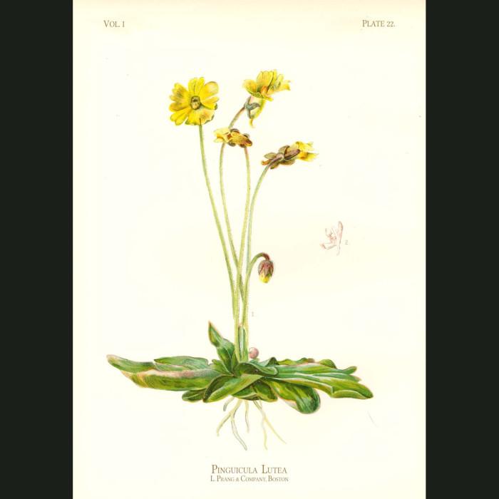 Fine art print for sale. Yellow Butterwort Flower (carnivorous)