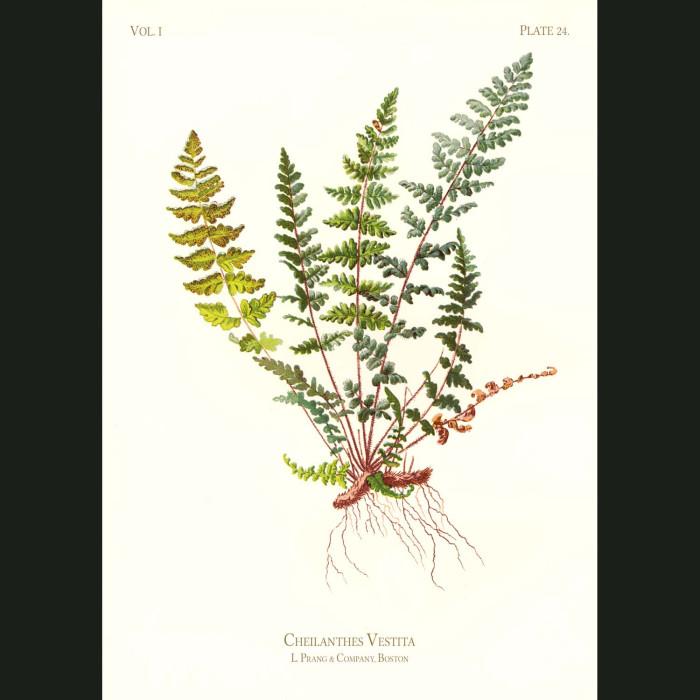 Fine art print for sale. Hairy Lip Fern (Cheilanthes Vestita)