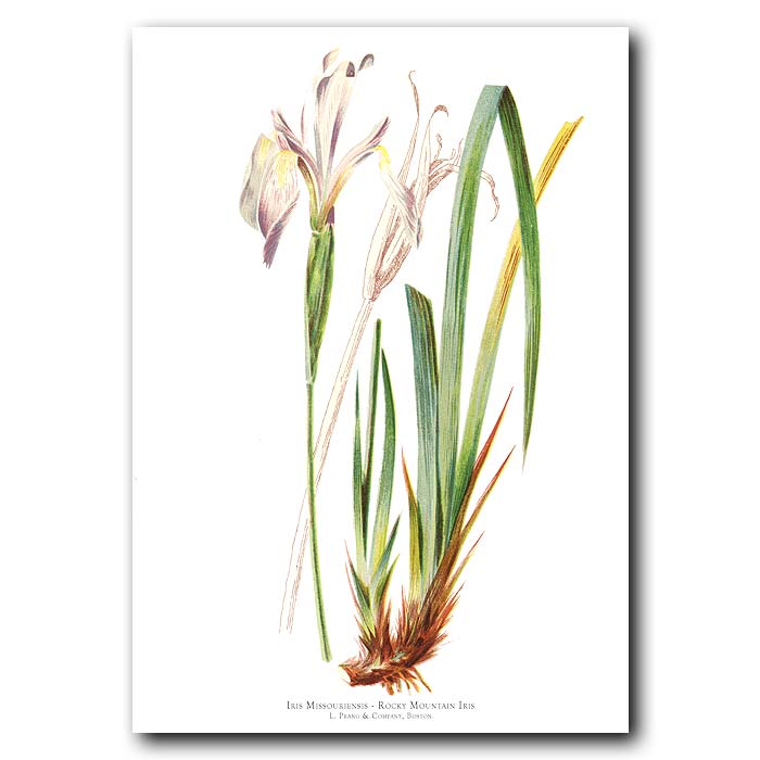 Fine art print for sale. Rocky Mountain Iris Flower (Iris Missouriensis)