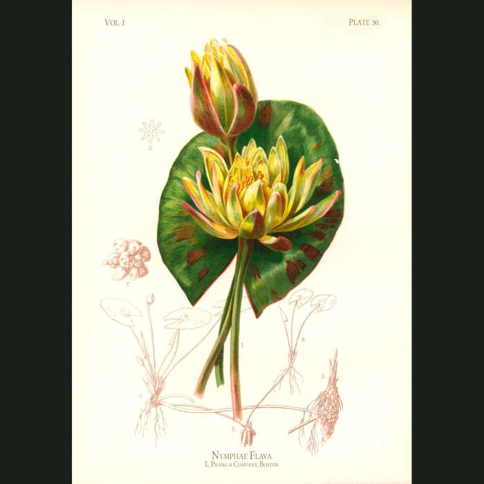 Fine art print for sale. Audubon's Yellow Water Lily (Nymphaea Flava)