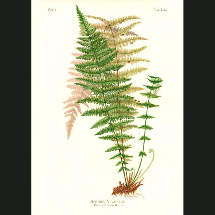 Fine art print for sale. Sierra Nevada Shield Fern (Aspidium Nevandense)