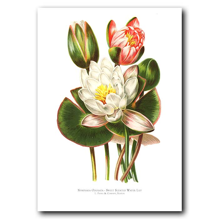 Fine art print for sale. Sweet-Scented Water Lily (Nymphaea Odorata)