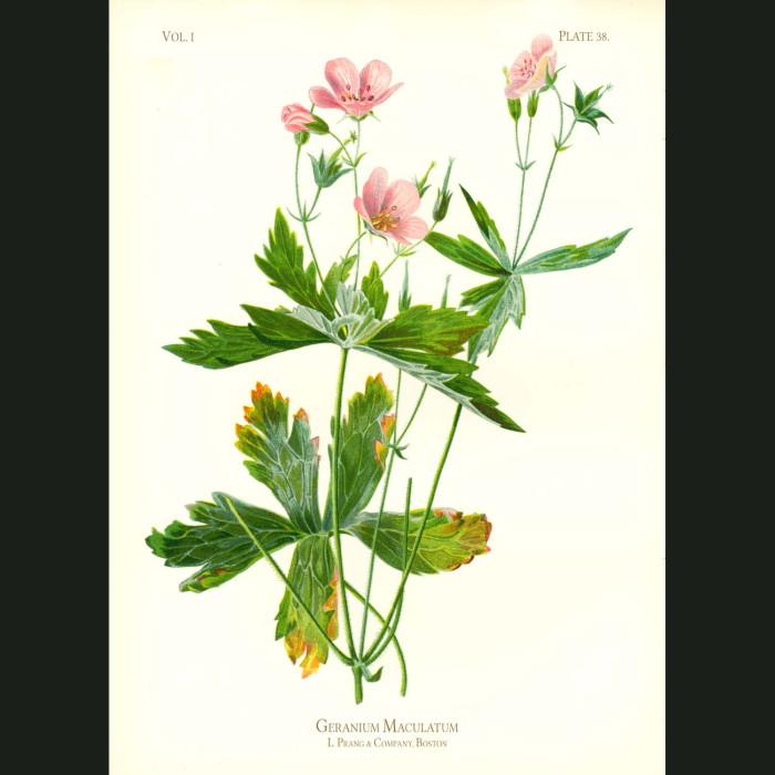Fine art print for sale. Spotted Crane's Bill Geranium (Geranium Triphyllum)