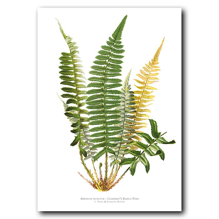 Fine art print for sale. Chamisso's Shield Fern (Aspidium Monitum)