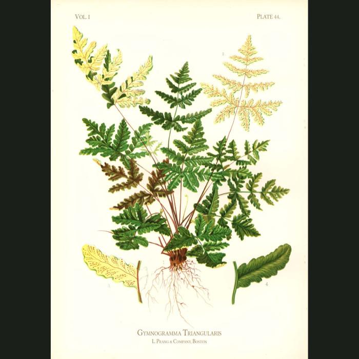 Fine art print for sale. California Gold Fern (Gymnogramma Triangularis)