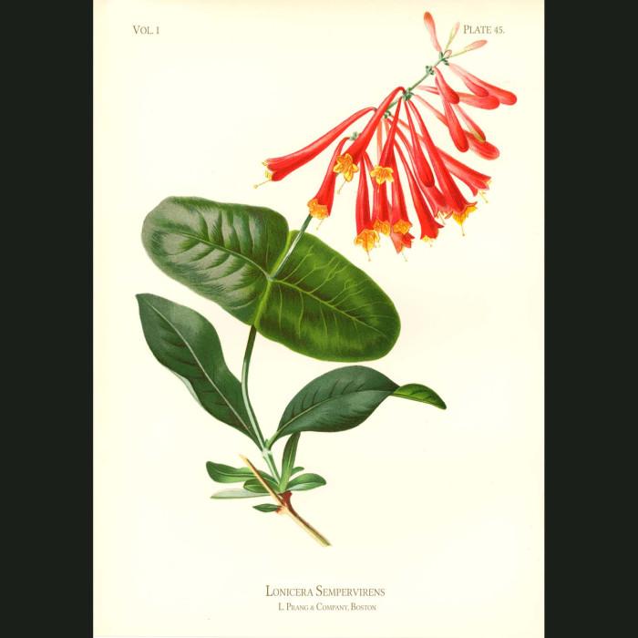 Fine art print for sale. Scarlet Trumpet Honeysuckle (Lonicera Sempervirens)