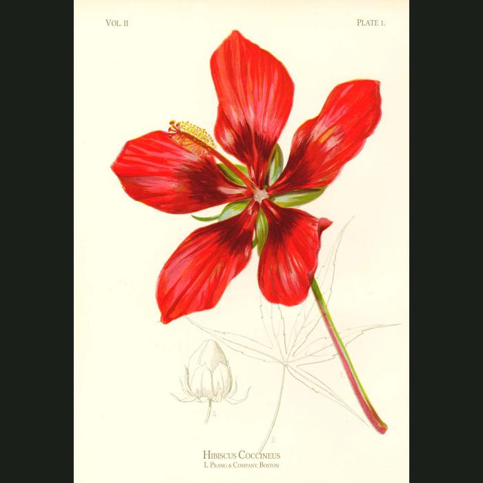 Fine art print for sale. American Scarlet Hibiscus (Hibiscus Coccineus)