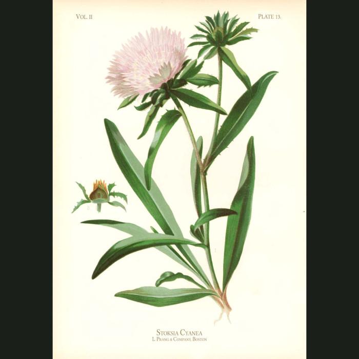 Fine art print for sale. Blue Stokesia (Stokesia Cyanea)