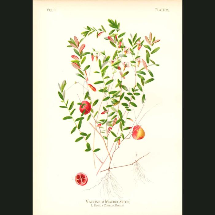 Fine art print for sale. American Cranberry (vaccinium Macrocarpon)