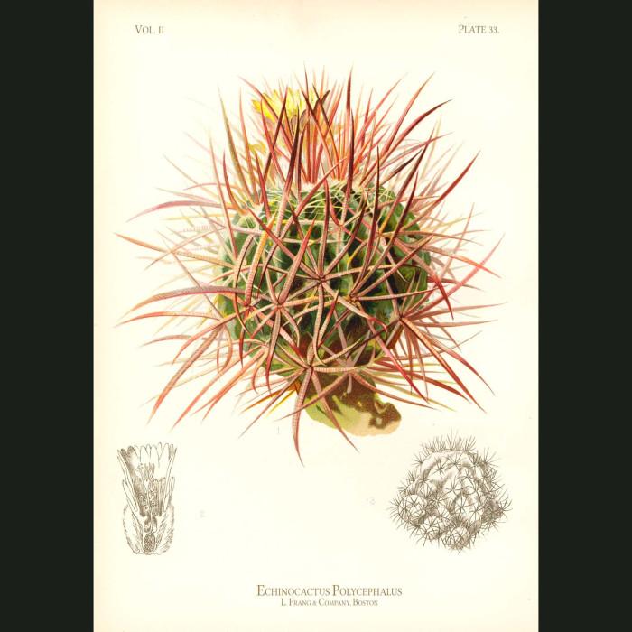 Fine art print for sale. Many-Headed Hedgehog Cactus (Echinocactus Polycephalus)